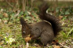 Grey squirrel in the woods eating a walnut. With yellow forest flowers Royalty Free Stock Photos