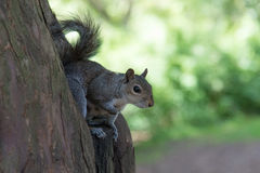Grey Squirrel-zitting in boom Stock Foto