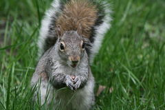 Grey Squirrell front photo in long grass Stock Image