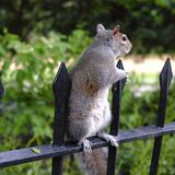 Grey squirrel standing on a railing in a park. Grey squirrell standing on a rail looking around for something interesting Royalty Free Stock Image