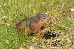 Red squirrell. Stock Image