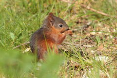 Red squirrell. Royalty Free Stock Photography
