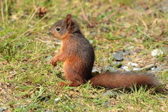 Red squirrell. Royalty Free Stock Image