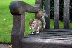Grey Squirrels Royalty Free Stock Photo