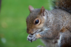 Grey Squirrels Royalty Free Stock Images