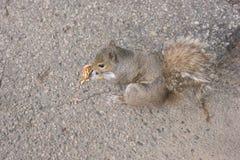 Eastern Grey Squirrel Sciurus carolinensis eating a nut royalty free stock image
