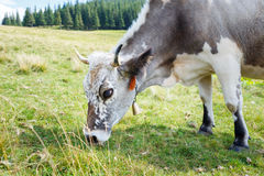 Grey stained cow grazing on mountain pasture Stock Photography