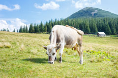 Grey stained cow grazing on mountain pasture Royalty Free Stock Photography