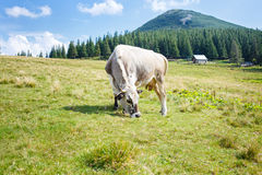 Grey stained cow grazing on mountain pasture Stock Photo