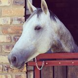 Grey stallion looking over his stable door. Soft eyed dapple grey horse Stock Images