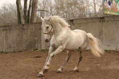 Grey stallion on the move. A light grey stallion running Royalty Free Stock Photos