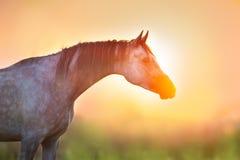Stallion portrait at sunrise. Grey stallion portrait at sunrise light royalty free stock photo
