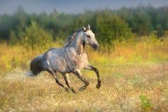 Grey stallion run. White arabian stallion with long mane run gallop on meadow royalty free stock photography