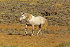 Grey Stallion with Scars. The stud finishes a dust bath in the desert of Wyoming badland stock photography