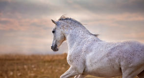Grey stallion on sunset Royalty Free Stock Photography
