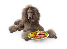 Grey Standard Poodle dog with Cookies Stock Photo