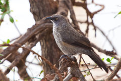 Grey starling bird sitting on a branch Royalty Free Stock Images