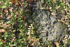 Grey stone in the grass with fallen leaves. Gray stone in the grass with fallen leaves Royalty Free Stock Photography