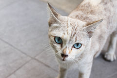 Grey stray cat with light blue eyes look straight. Grey stray cat with light blue eyes Stock Photography
