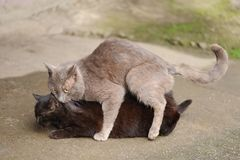 Grey stray cat making love to black cat Royalty Free Stock Photos