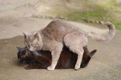Grey stray cat making love to black cat. Horizontal Royalty Free Stock Photos