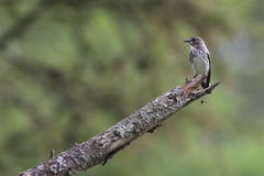 Grey-streaked Flycatcher on branch of larches Royalty Free Stock Photos