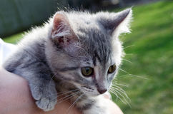 Grey striped baby kitten. Grey tabby baby kitten looks curiously at the outdoors from the safety of her perch with wide eyes royalty free stock photography