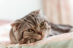 Grey striped cat breed Scottish Fold lying on bed stock images