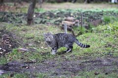 Grey striped cat on grey ground with green grass royalty free stock photos