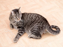 A grey striped cat Royalty Free Stock Images