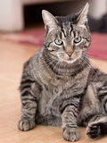 A grey striped cat Royalty Free Stock Image