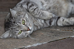 Grey striped cat relaxing on warm stones Stock Image