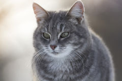 Grey striped cat sitting on a fence in winter Royalty Free Stock Photography