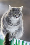 Grey striped cat sitting on a fence in winter Stock Image