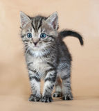 Grey striped kitten standing on yellow Stock Photography