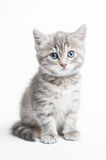 Grey striped kitten Stock Photos