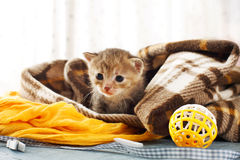 Grey striped newborn kitten in a plaid blanket Stock Images