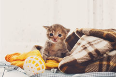 Grey striped newborn kitten in a plaid blanket Royalty Free Stock Photography