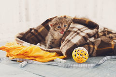 Grey striped newborn kitten in a plaid blanket. Sweet adorable tiny kitten on a serenity blue wood background play with cat toy and ribbon. Small cat. Funny royalty free stock image