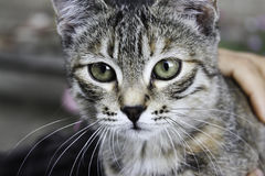Grey stripy cat. Flattered by hand royalty free stock image