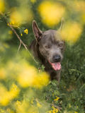 Grey summer thai ridgeback dog in forest in beauty flowers Royalty Free Stock Photos