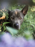 Grey summer thai ridgeback dog in forest in beauty flowers Stock Image