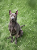 Grey summer thai ridgeback dog in forest in beauty flowers Royalty Free Stock Photography