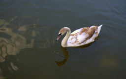 Grey Swan Imagens de Stock Royalty Free