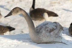 Grey Swan royalty-vrije stock fotografie