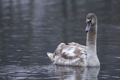 Child swan swimming in a lake looking at the camera Royalty Free Stock Images