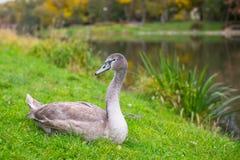 Grey Swan die op het gras dichtbij het meer liggen nave royalty-vrije stock afbeelding