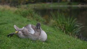 Grey Swan lying on the grass near the pond. Nature. Grey Swan lying on the grass near the pond stock footage