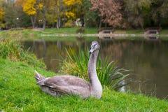 Grey Swan op het gras dichtbij het meer nave royalty-vrije stock fotografie