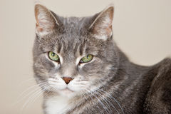 Grey tabby Stock Photos